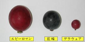 ルビーロマン 顆粒比較.jpg
